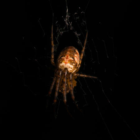 eight legged: A cross spider waiting for prey in its web.