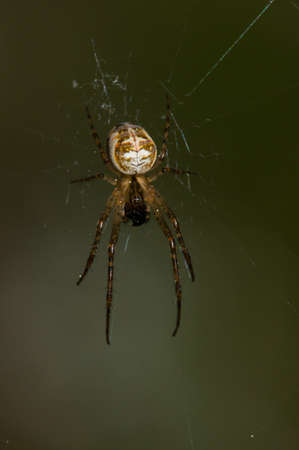 eight legged: A orb-weaver spider waiting for prey in its web. Stock Photo