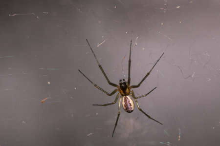 araneidae: A orb-weaver spider waiting for prey in its web. Stock Photo