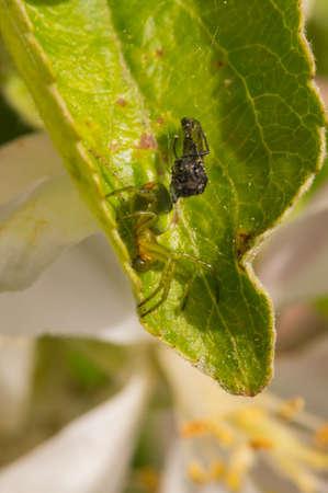 araneidae: Green cucumber spider on a leaf with its prey