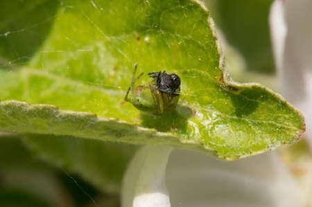 eight legged: Green cucumber spider on a leaf with its prey
