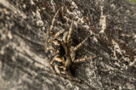 arachnida: a jumping spider sneaking on its prey.