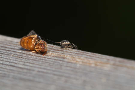 fa: A spider are predating on fa lying ant.