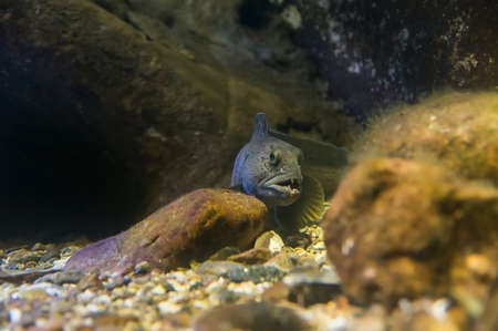 lurking: A atlantic wolffish lurking on the sea bottom waiting for prey.