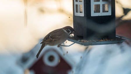 bird feeder: An  Eurasian tree sparrow  is flipping around the seeds  while feeding at a bird feeder. Stock Photo
