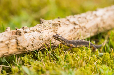 A small salamander is crawling over the green grass along a small old branch from a tree.
