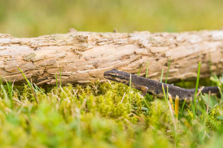 salamanders: A small salamander is crawling over the green grass along a small old branch from a tree.