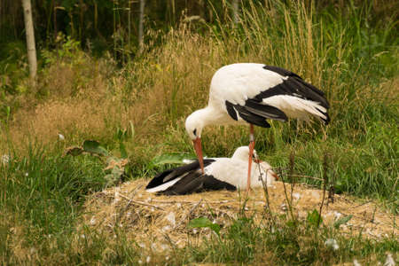 monogamous: A white stork couple incubating eggs in their nest Stock Photo