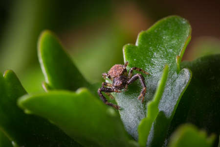 crab spider: A macro shot of a brown and black ground crab spider sitting on a green leaf waiting for prey