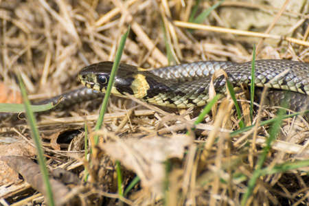 An european grass snake is sun bathing in the grass among stones to get warm. Stock Photo