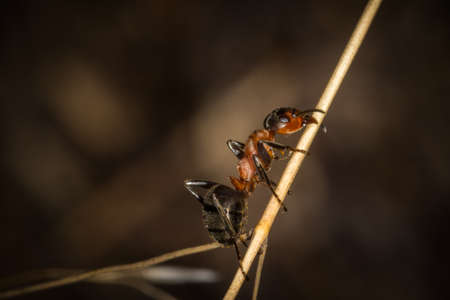 A red wood ant worker walking up a grass straw closeup macro.