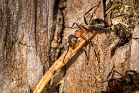 A red wood ant worker carry a twig on old tree trunk.