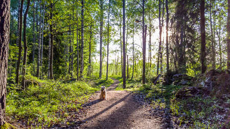 thru: A dog pet sitting on a running trail thru the green forrest early in the morning. Stock Photo