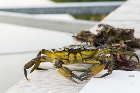 pincers: European green chore crab fished and caught and later released to freedom