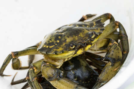 European green chore crab fished and caught placed in a white bucket
