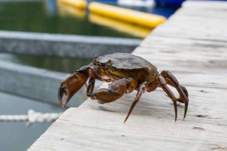 European green chore crab fished and caught and later released to freedom