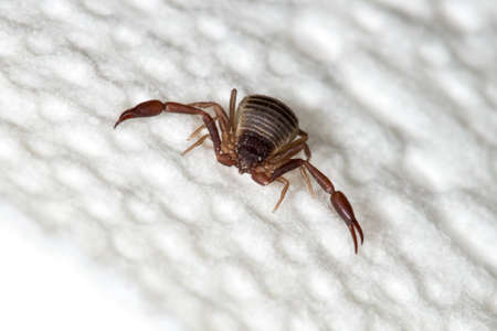 A 3mm long book scorpion with pincers crawling on white paper towel.