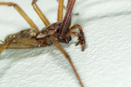A macro close-up picture of a big large male giant house spider on a white wall