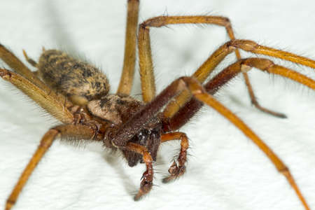 gigantea: A macro close-up picture of a big large male giant house spider on a white wall