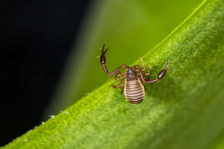 A 3mm long book scorpion with pincers crawling on green plant.