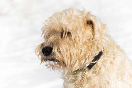 A adorable cute irish wheaten softcoated  terrier dog  in a white winter day