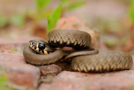 tempter: The beautiful and quiet snake