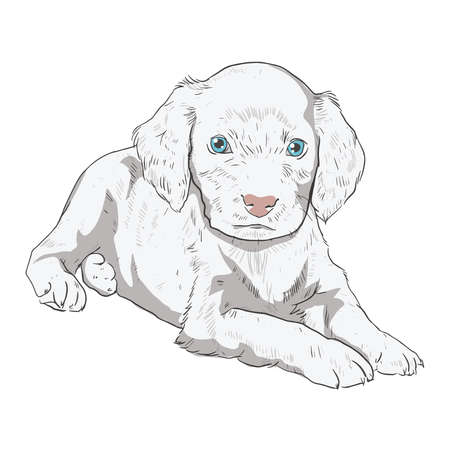 spaniel: Little puppy on a white background. Vector illustration of a dog in the style of drawing