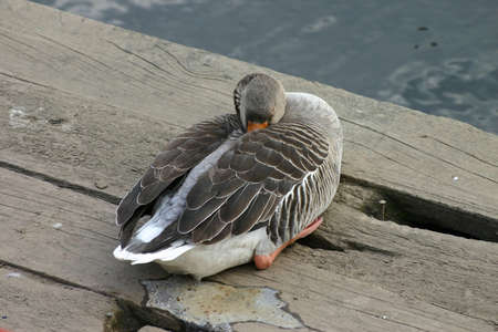 Sleeping Duck having a Poo photo