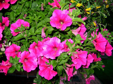 Pink Pansies in a Hanging Basket photo