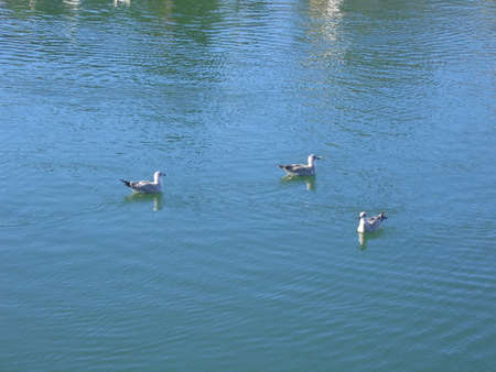 water fowl: Water Fowl on River Stock Photo