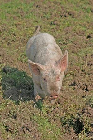 grunter: Little Pink Piglet in Cheshire Farm Field Stock Photo