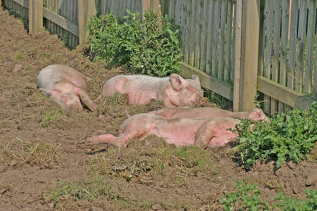 grunter: Little Pink Piglets in Cheshire Farm Field