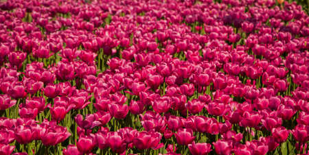 skagit: Purple tulips in spring blossom background texture