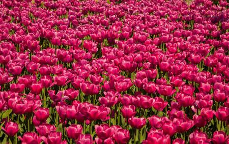 skagit: Purple tulips in spring vibrant blossom background texture Stock Photo