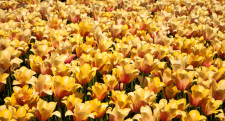 vibrant background: Yellow tulips in spring blossom vibrant background texture Stock Photo