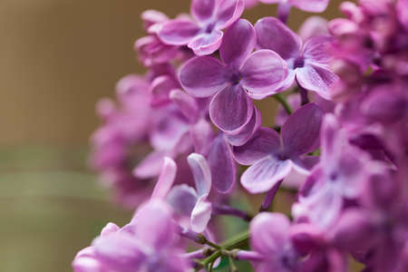 bunch up: Bunch of purple spring blooming lilac flowers macro close up