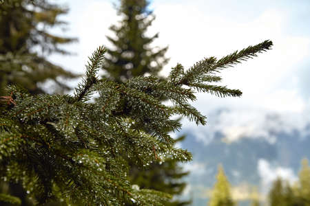 Spruce branch with drops of water