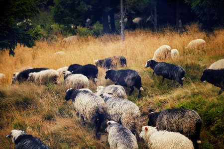 Flock of sheep domestic agriculture animals.