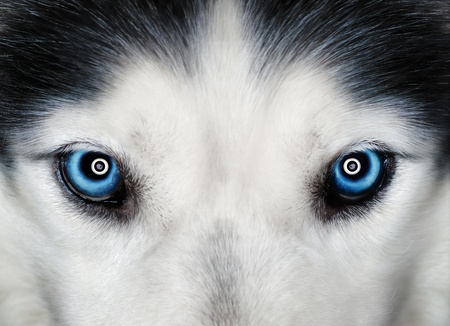 Husky blue eyes photo