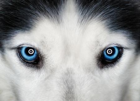 sled dog: Husky blue eyes