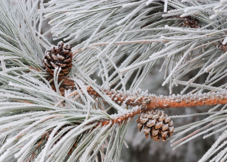 boughs: Pine boughs and cones covered in hoarfrost Stock Photo