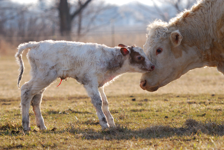 Newborn calf with mother watching over it  Reklamní fotografie