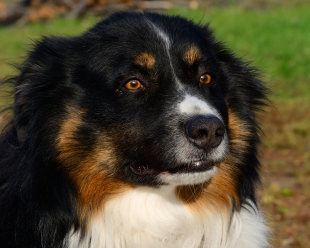 nautral: well posed Australian Shepherd tri coat with nautral backgrund
