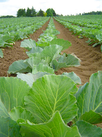 cabbage patch: Rows of Cabbage