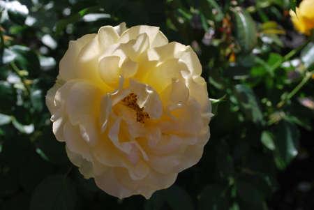 bloom: Yellow Roses in Bloom
