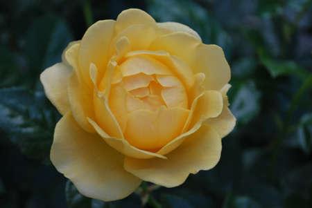 yellow roses: Rosas amarillas en la floraci�n Foto de archivo