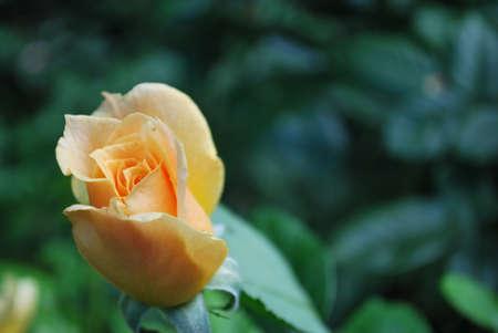 yellow roses: Rosas amarillas en la floraci�n - Rose P�talos Foto de archivo