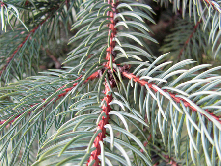 pinetree: macro pine-tree branch - brown branch, teal pines Stock Photo