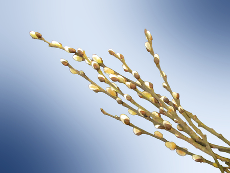 Pussy willow branches on light background closeup Imagens