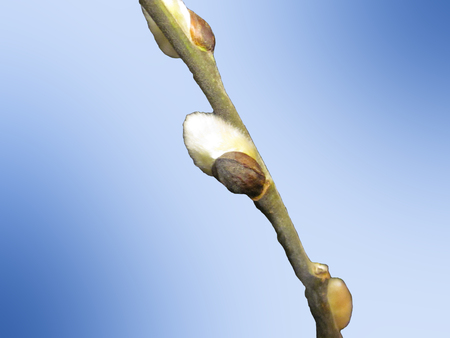 Pussy willow branch on light blue background closeup